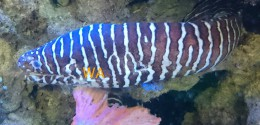 Brown and white zebra eel
