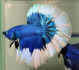Blue HalfMoon White Rim Betta (Male)