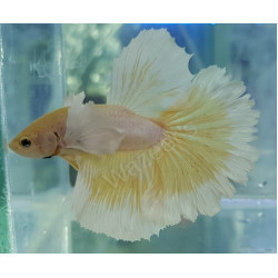 Dumbo Ear Rose Tail Betta (Male)