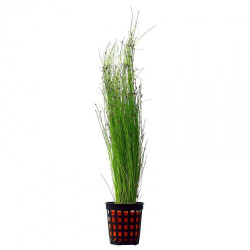 "Eleocharis Vivipara ""Tall Hair Grass"""