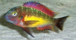 Tropheus Red Rainbow Kasanga