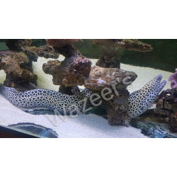 Leopard Moray  Eel