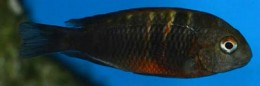 Small Tropheus fire cracker