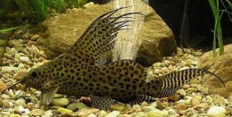feather fin synodontis catfish