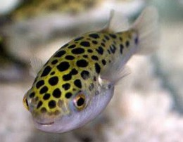 8 spotted puffer