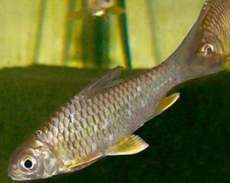 Yellow Belly Tinfoil Barb