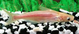 Albino Pangasius Catfish (Small)