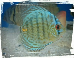 Striped Blue Turquoise Discus