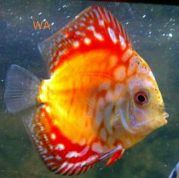 Golden (Red) Rainbow Discus
