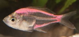 Pink Coloured Glass Fish