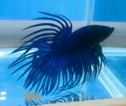 Blue Crown tail Betta (Male)