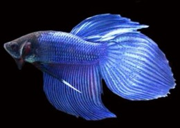 Blue betta (Male)
