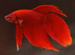 Red betta (Male)