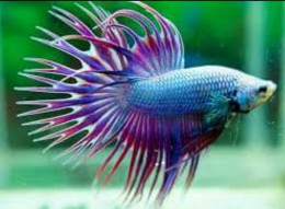 Purple and Blue Crown Tail Betta (Male)