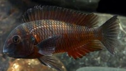 Tropheus Fire Cracker