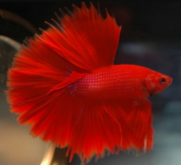 Red Full Moon Betta (Male)