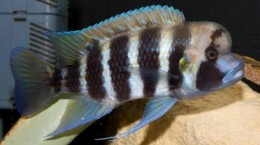 Kigoma 7 Strip Frontosa