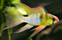 Long Fin Golden Blue Ram