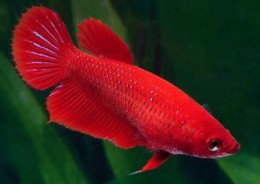 Red Betta (Female)