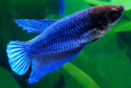 Blue Betta (Female)