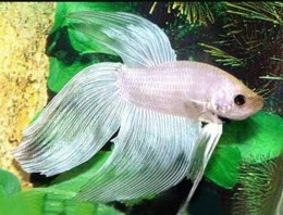 White Betta (Male)