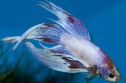 White and Purple Betta (Male)