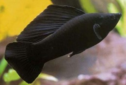 Sailfin Black Molly