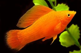 Sailfin Orange Molly