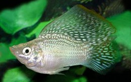 White Sailfin Balloon Molly
