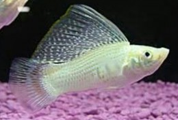 White Sailfin Molly