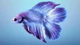 Double Tail Purplish Betta