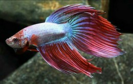 Multi Colour Betta (Male)