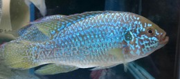 Blue African Jewel Cichlid