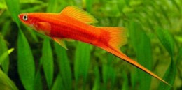 Red Swordtail (Male)
